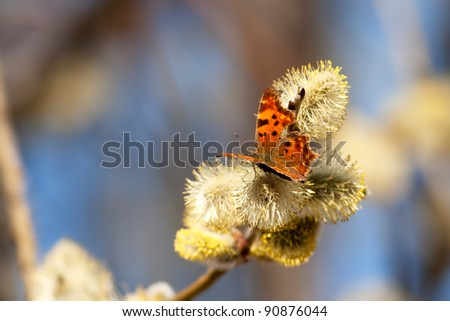 Polygonia c-album, Comma butterfly, photographed in nature - stock photo