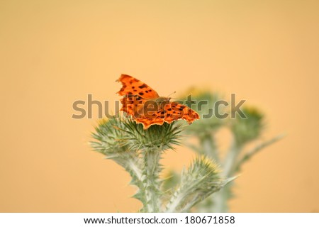 Polygonia C-album perched on a thistle  - stock photo