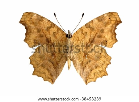 Polygonia c-aureum (Asian Comma) (underside) - stock photo