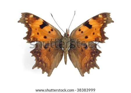 Polygonia egea (Southern Comma) - stock photo