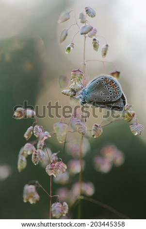 polyommatus icarus - common blue butterfly - stock photo