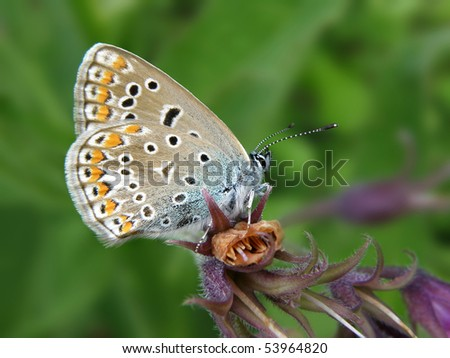Polyommatus icarus, Common Blue butterfly - stock photo