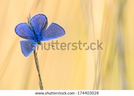 Polyommatus icarus with morning light - stock photo