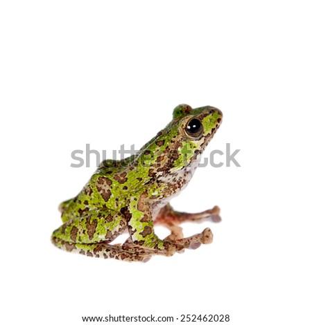 Polypedates duboisi, flying tree frog on white - stock photo