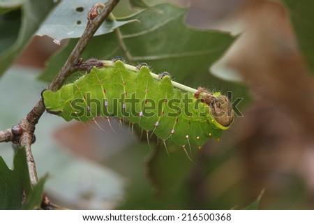 Polyphemus Moth Larva (Antheraea polyphemus) Feeding on Oak Leaves - Ontario, Canada - stock photo
