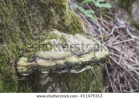 Polypore mushroom on an old tree