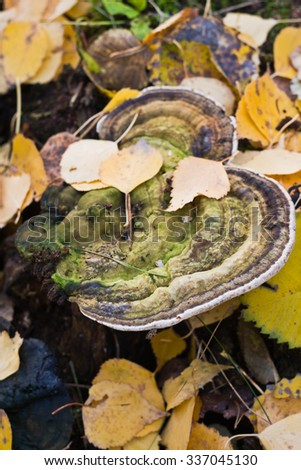 Polypore mushrooms on an old stump