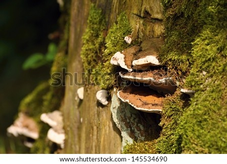 Polypore on a stump with a green moss - stock photo