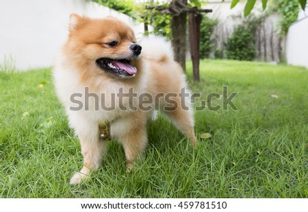 Pom dog in garden,background is blurry,Pom dog is smile,Focus face of dog.