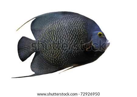 Pomacanthus Paru or french angel fish in front of a white background