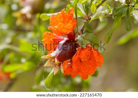 Pomegranate and red flowers on a tree - stock photo