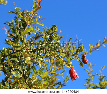 Pomegranate   flower buds punica granatum  will produce fruit  ripening in late autumn bears delicious red glutinous seeds   for tangy  fruit juice drinks and cordials.