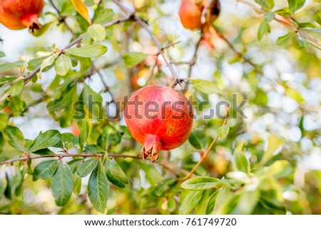 Pomegranate fruit growing on the tree outdoors