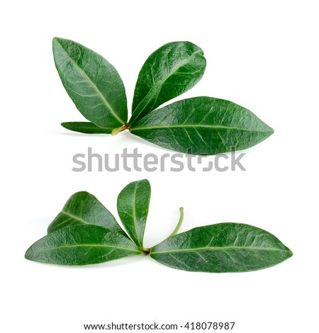 Pomegranate leaf isolated on white. Collection. With clipping path.