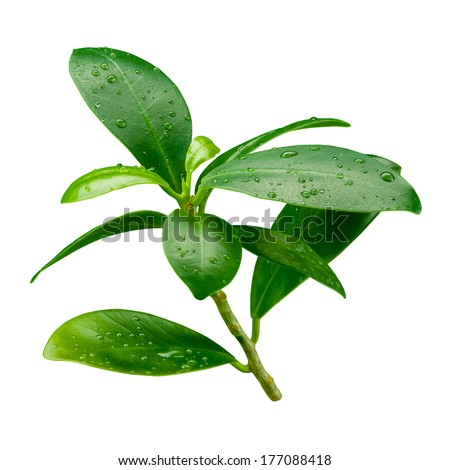 Pomegranate leaf. Wet branch isolated on white background - stock photo