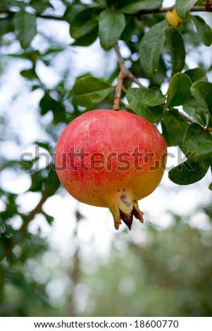 pomegranate on tree branch