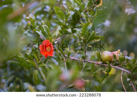 Pomegranate (Punica granatum) tree with fruit and flower blossom - stock photo