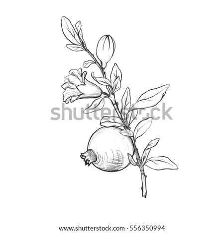 how to draw pomegranate tree