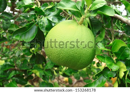 Pomelo fruit on the  tree - stock photo