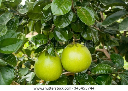 Pomelo fruit on the tree in garden  - stock photo