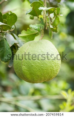 Pomelo fruit on tree with bokeh background - stock photo