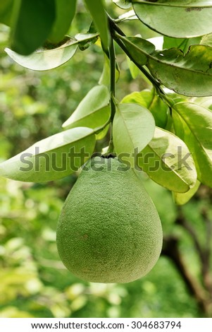 Pomelo hanging on the tree.  - stock photo