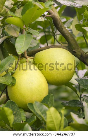 Pomelo hanging on tree  in garden.