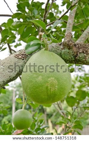 Pomelo on the tree - stock photo