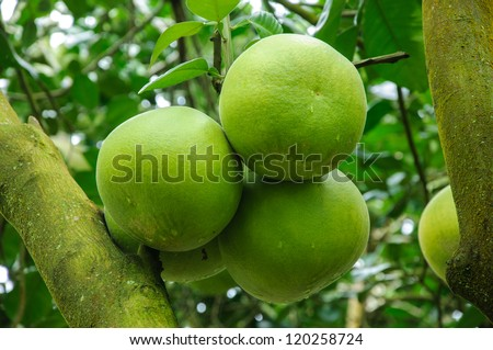 Pomelo tree. name is Taptim Siam of Thailand. - stock photo