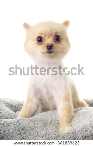 Pomeranian ala Little Bear Hair Cut; non sharpen