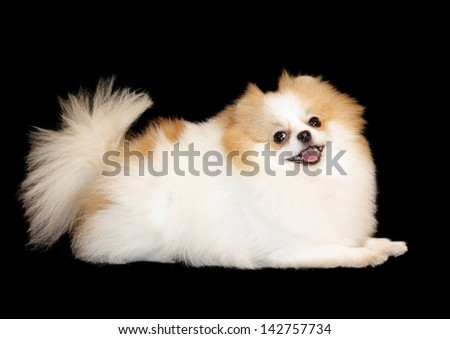 Pomeranian breed lulu posing for the camera