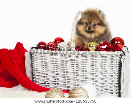 Pomeranian christmas dog - stock photo