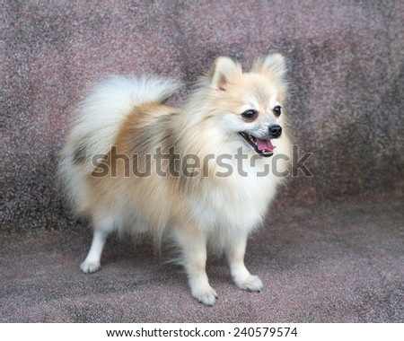 Pomeranian dog. - stock photo