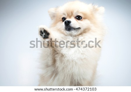 Pomeranian dog Close up isolated on white background