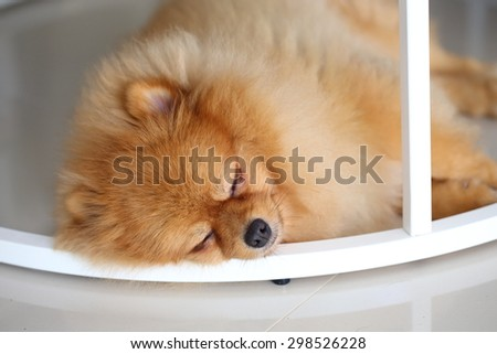pomeranian dog cute pets sleeping in home - stock photo
