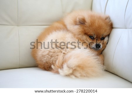 pomeranian dog cute pets sleeping on white leather sofa furniture - stock photo
