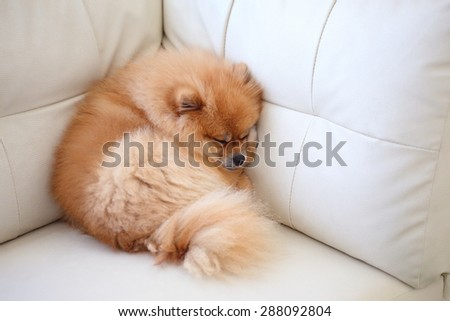 pomeranian dog cute pets sleeping on white leather sofa furniture - stock photo
