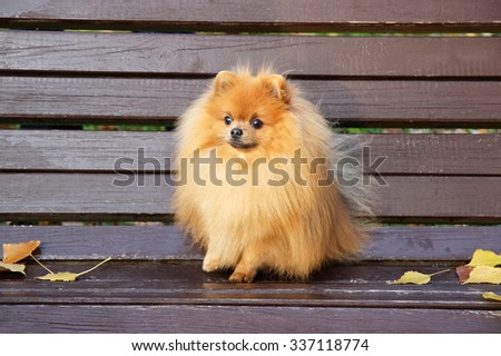 Pomeranian dog. Dog in autumn park. Dog on a bench. Serious pomeranian dog. - stock photo