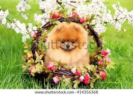 Pomeranian dog in a park. Cute, beautiful dog. Dog in a basket - stock photo