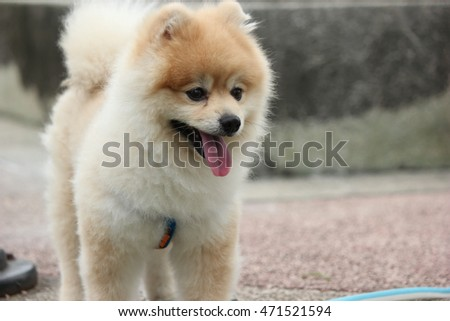 Pomeranian dog in a park. Dog outdoor. Adorable dog. Pomeranian dog outdoor.