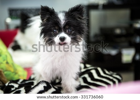 Pomeranian dog in a shop - stock photo