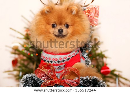 Pomeranian dog in glasses. Dog wish Happy New Year. Happy New Year