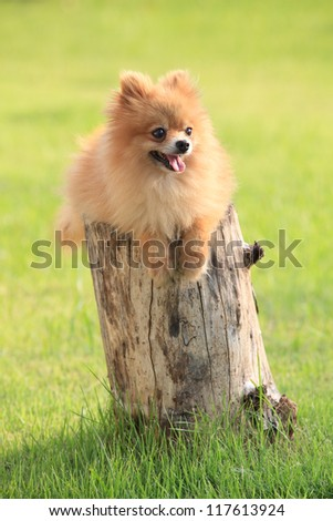 pomeranian dog lied on tree bark  with green field background