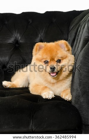 Pomeranian dog looking into the camera and showing its tongue. - stock photo