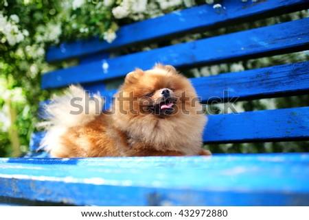 Pomeranian dog on a blue bench. Happy dog. Beautiful dog in a park. Adorable pomeranian - stock photo