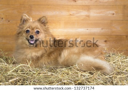 Pomeranian dog on a straw on a background of wooden boards