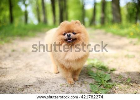 Pomeranian dog on a walk. Dog outdoor. Beautiful dog - stock photo