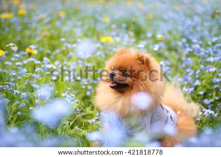 Pomeranian dog on a walk. Dog outdoor. Beautiful dog. Dog in forget-me-not flowers  - stock photo