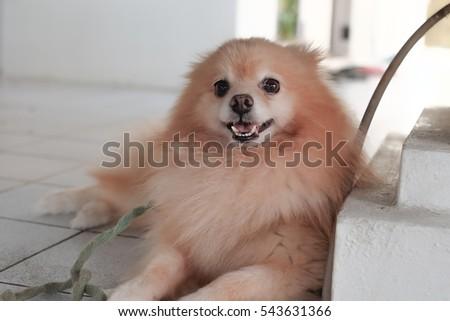 Best Pomeranian Brown Adorable Dog - stock-photo-pomeranian-dog-on-the-floor-adorable-dog-focus-face-of-dog-543631366  HD_743148  .jpg