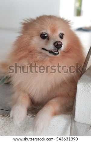 Great Pomeranian Brown Adorable Dog - stock-photo-pomeranian-dog-on-the-floor-adorable-dog-focus-face-of-dog-543631390  Best Photo Reference_697997  .jpg